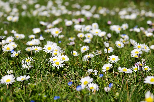 How to Clear Daisies from Lawn