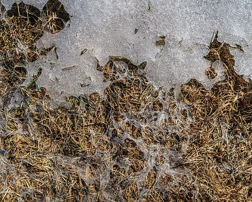 How to Remove Snow Mold from Lawn